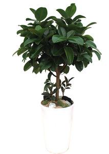 고무나무 실내공기정화식물