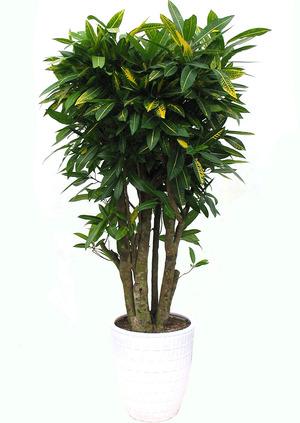 잎크로톤 대형화분
