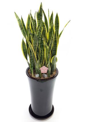 실내공기정화식물-산세원형