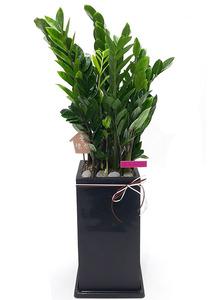 금전수 실내공기정화식물
