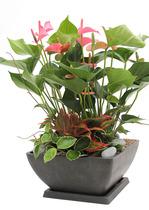 안스리움 실내공기정화식물