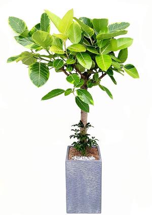 뱅갈고무나무 화분배달