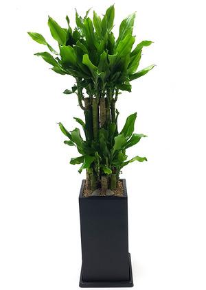 황금죽-실내공기정화식물