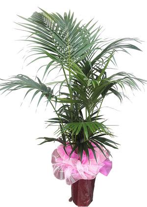 공기정화식물 켄챠야자
