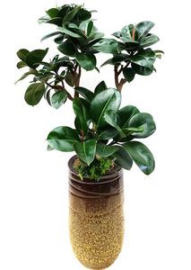 인도고무-가지 실내인테리어식물