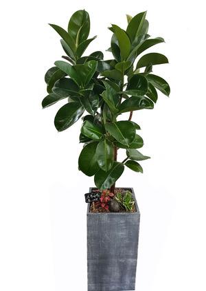 실내공기정화식물 고무나무