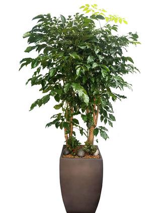 실내공기정화식물 녹보수 특