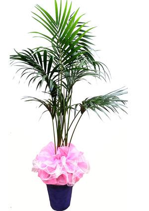 켄챠야자 실내공기정화식물